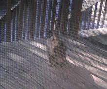 feral grey tuxedo cat on porch