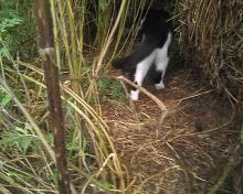 cat with kitten going into hay