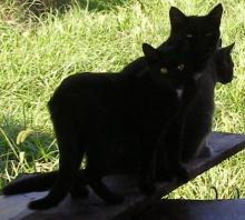 two black cats and a grey cat