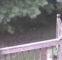 feral grey and white tuxedo cat under pine tree