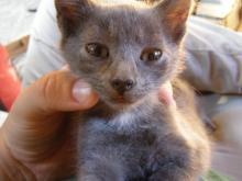 grey kitten with white neck