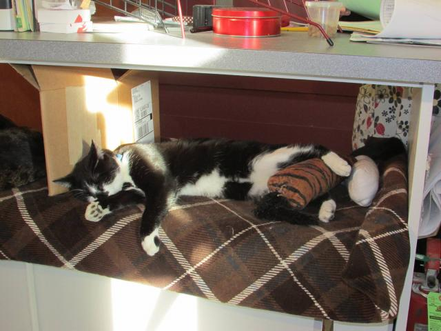 tuxedo cat sleeping in sun